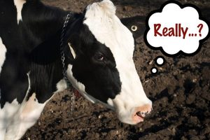 skeptical-cow
